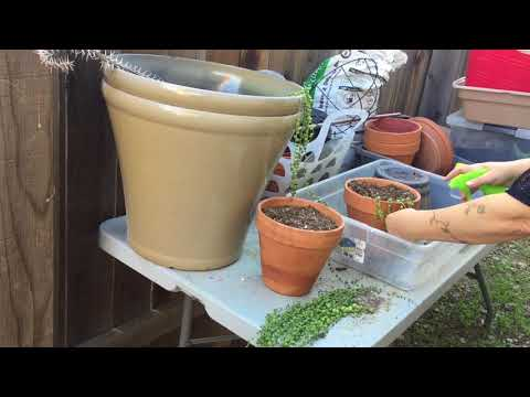 How To Restart A String Of Pearls Plant