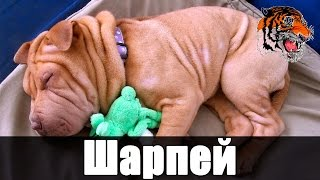 Шарпей / Порода Шарпей / Складчатая собака