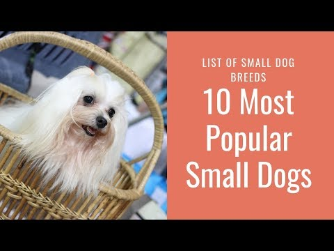 10 Most Popular Small Dogs – List of   Small Dog Breeds