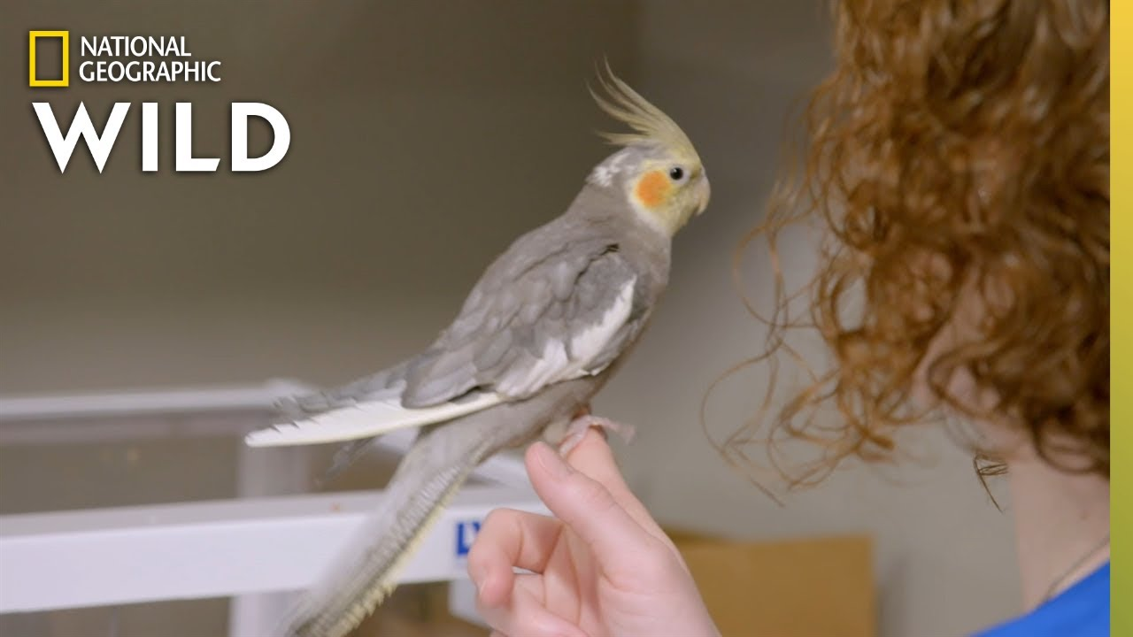 A Contagious Cockatiel | Dr. T, Lone Star Vet