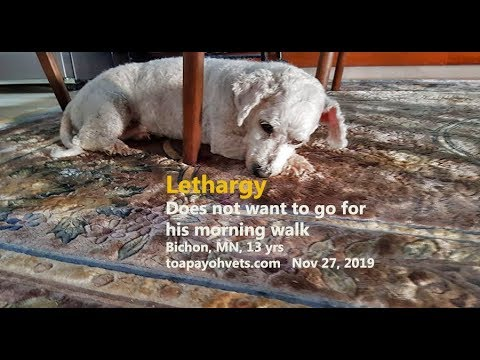 A 13-year-old male Bichon Frise becomes lethargic overnight. Why?