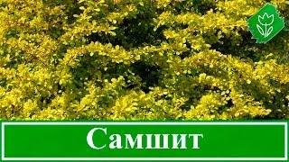 видео ель коника: посадка и уход, фото, описание, высота взрослого дерева
