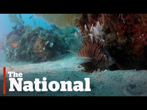 Lionfish Threaten Atlantic Ocean Ecosystem