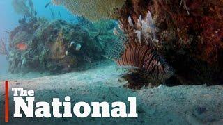 Lionfish threaten Atlantic Ocean ecosystem