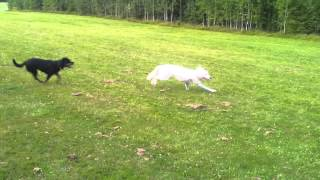 White Swiss Sephard, American Bully Xxl Pup And Rottweiler Playing
