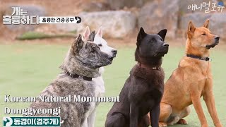 Korean Natural Monument No. 540, Donggyeongi [Dogs Are Incredible]
