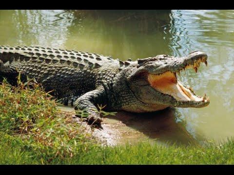 (VTC14)_Cá sấu sông Soài Rạp bị bắt do lên bờ phơi nắng