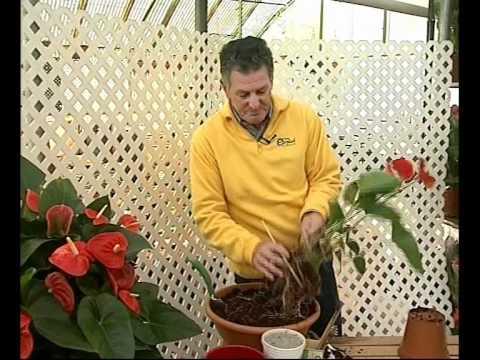 El jardinero en casa anturios youtube for Anturio cuidados