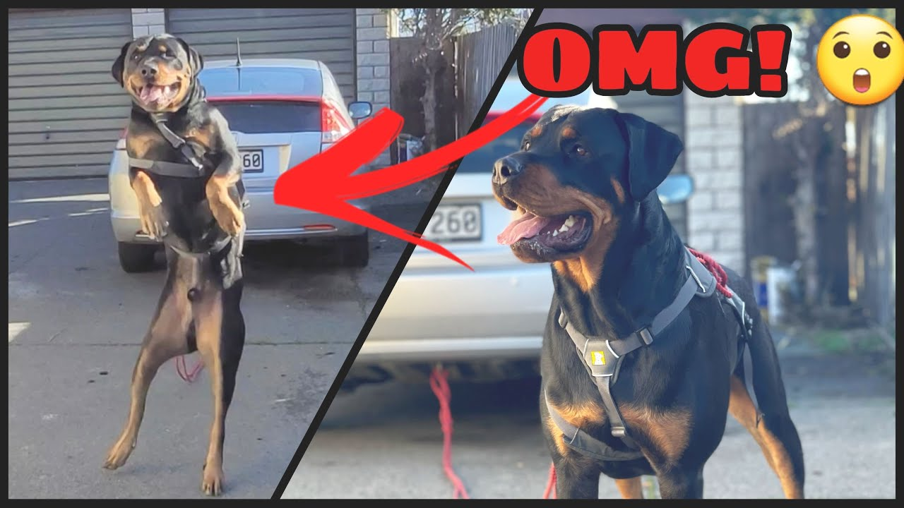 Rottweiler Pulling car | Most powerful Rottweiler | Sprout the Rottweiler