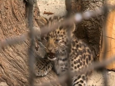 Raw: Rare Leopard Cubs Make Debut in Russia