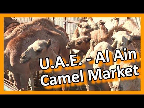 U.A.E. Abu Dhabi - Lively Al Ain camel & cattle market