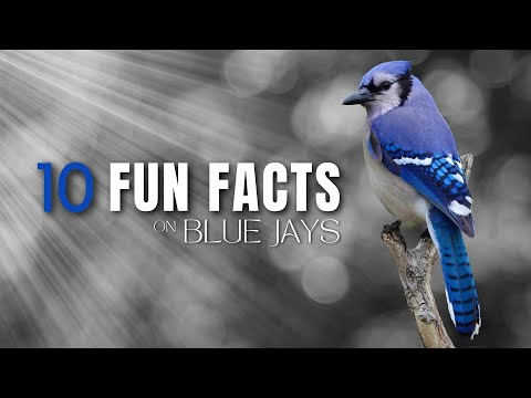 10 Fun Facts About Blue Jays | Noisy, Beautiful, Interesting
