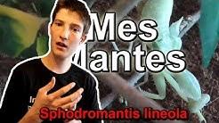 Mes MANTES éxotiques ! Sphodromantis lineola