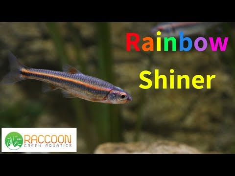 Rainbow Shiners In A Planted Native Stream Aquarium | Native Stream Tank
