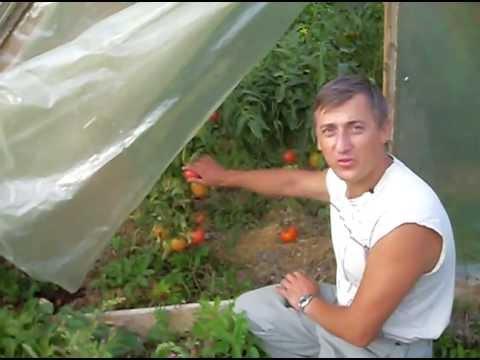 Помидоры в теплице: общие принципы выращивания и хороший урожай