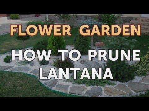 How To Prune Lantana Youtube
