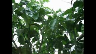 Pomelo = Citrus grandis x maxima Blooming kwitnienie drzewka grapefruit tree