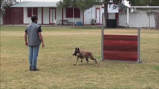 CHRISTOS TSIARAS - ESTER VERANIS K-9 DOG CENTER (ΝΕΔΑ) - BELGIAN SHEPHERD (MALINOIS)