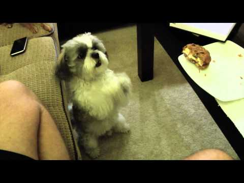 Dog Doing His Best Begging
