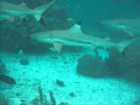 sharks in french polynesia 2011