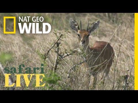 Safari Live - Day 53   Nat Geo WILD