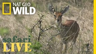 Safari Live - Day 53 | Nat Geo WILD thumbnail