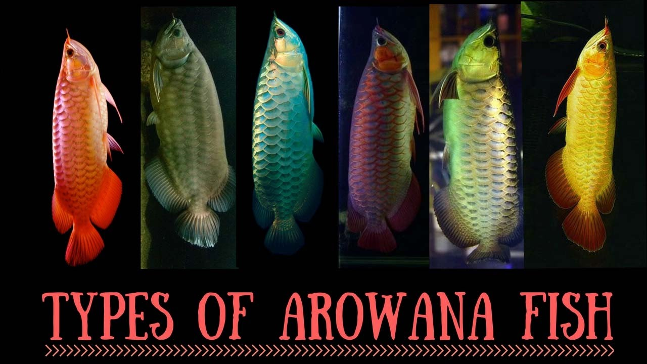 arowana species types of arowana fish red arowana silver
