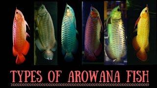 Arowana Species | Types of Arowana fish | Red Arowana | Silver Arowana   | Asian Arowana | Arowana
