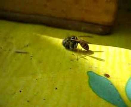 agressive wespen wespe k pft biene wasp kills bee funnycat tv. Black Bedroom Furniture Sets. Home Design Ideas