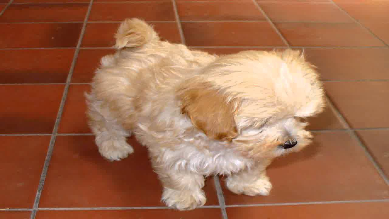 Hi, this is Cindy. Cindy is a toy Maltese/Shih Tzu cross ...