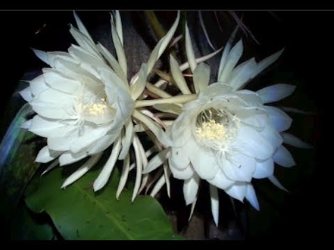 QUEEN OF THE NIGHT FLOWER - YouTube