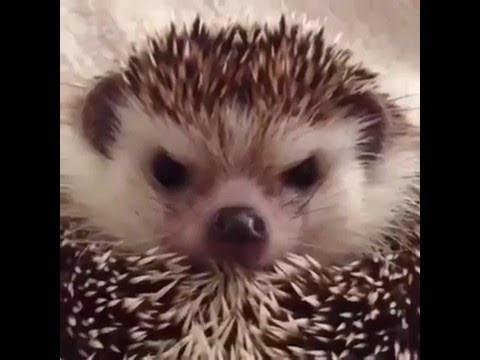 how to make an angry hedgehog happy comment his name