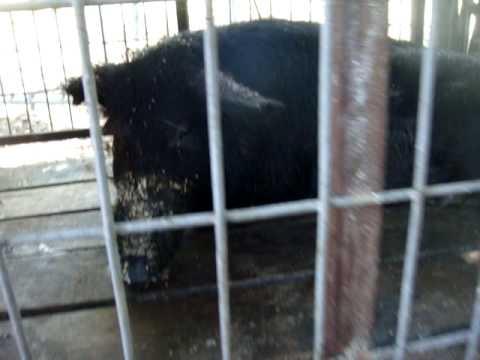 AREA -97  Illegal Slaughter Farm