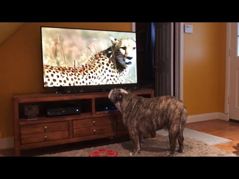 Bulldog Sees Cheetah On TV, Calls Sister For Backup