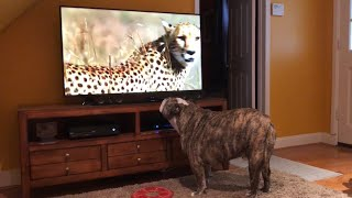 Bulldog Sees Cheetah On TV, Calls Sister For Backup