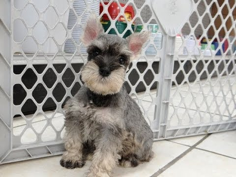 Miniature Schnauzer Puppies Dogs For Sale In Charleston South