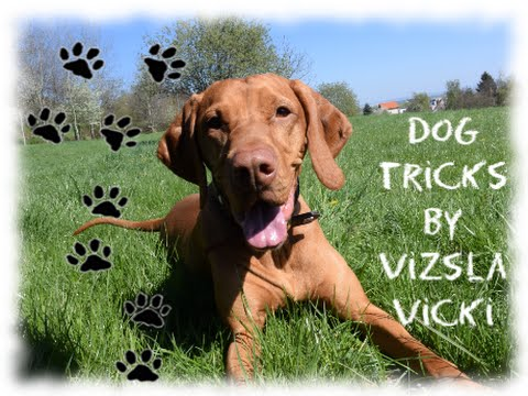 Dog tricks by vizsla Vicki