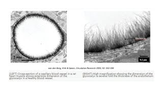 Glycocalyx Defined: A Protective Gel Lining of the Capillaries