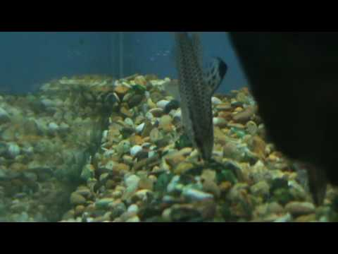 Spotted Headstander (Chilodus Punctatus) For Sale At Tyne Valley Aquatics