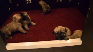 Cairn Terrier Pups 3 Weeks Young.....