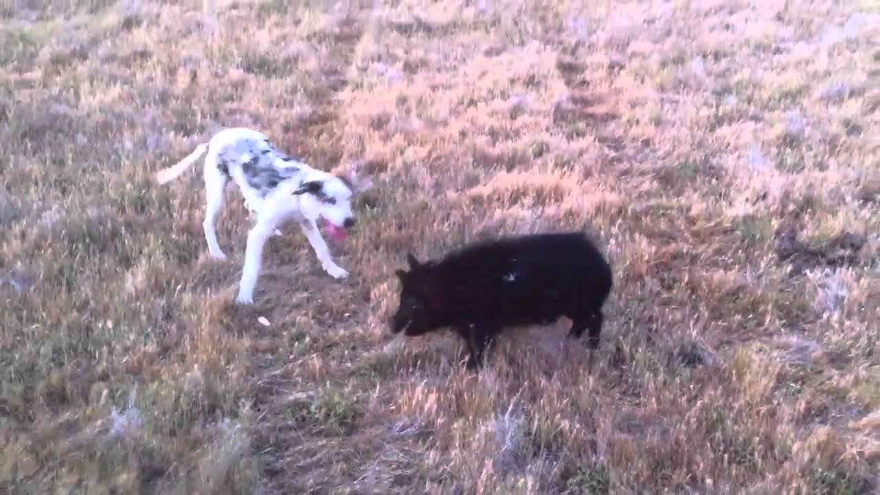 Pig Dog Pup Catahoula Youtube