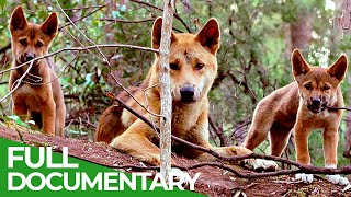 Wildlife Instincts: A Family Bond  Dingoes | Free Documentary Nature