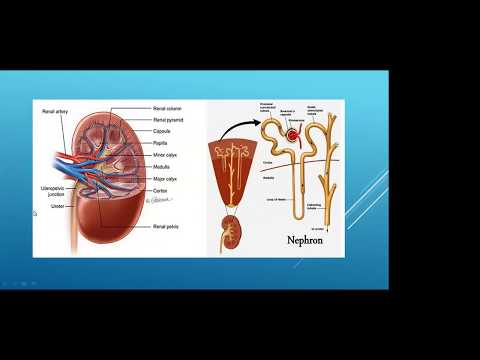 Chronic Kidney Disease - Why Women May be at Risk?