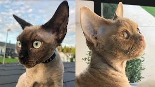 DEVON REX CAT BREED 2021