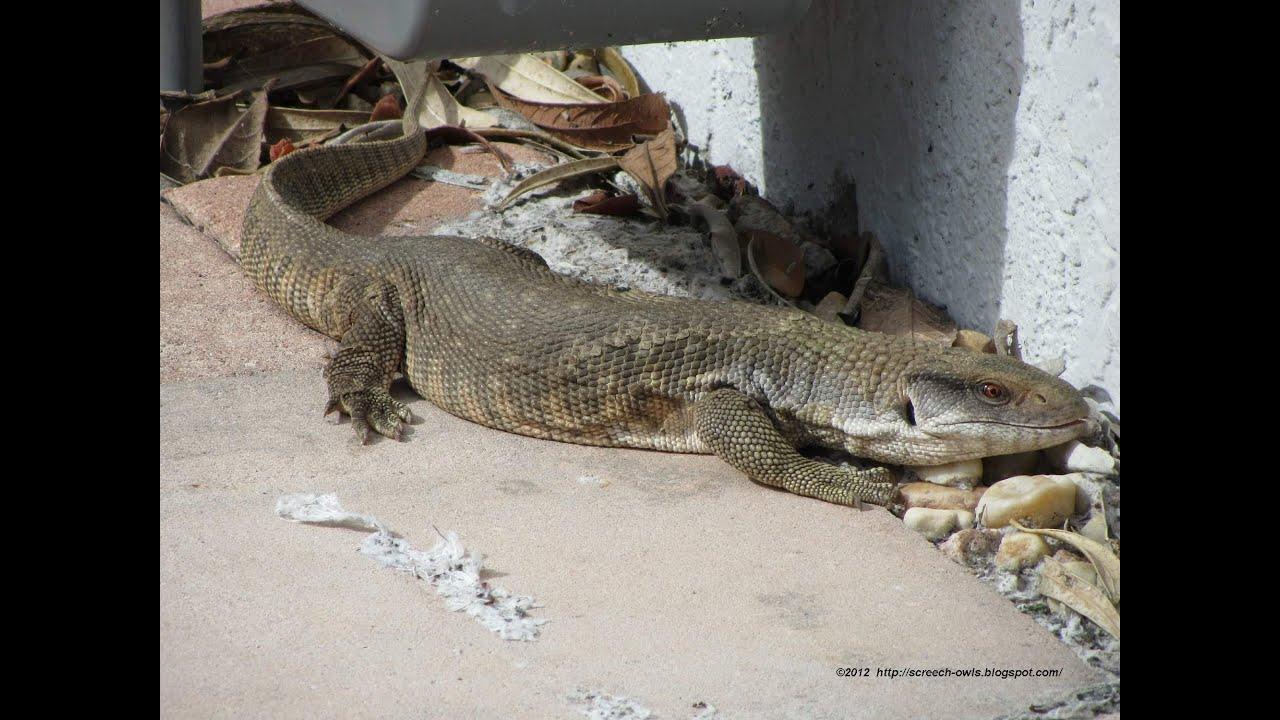 Large Wild Monitor Lizard in Florida Backyard - YouTube