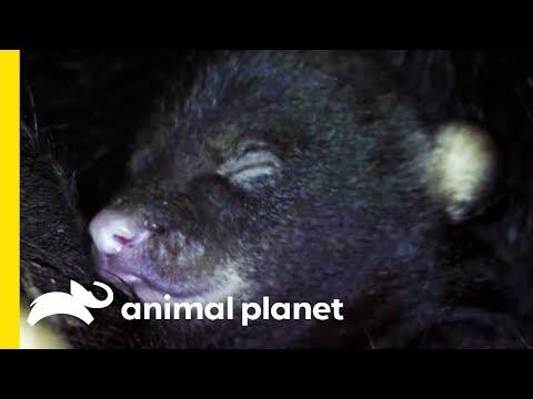 Hibernation: A B-eary Special | Animal Bites