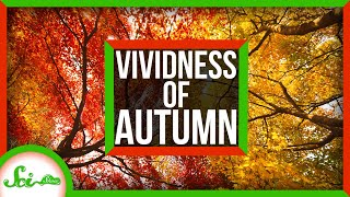 Why Is Autumn More Vivid in New England?