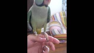 Captain Morgan the Alexandrine Parrot talking