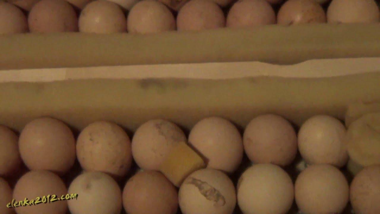 Инкубационное яйцо бройлера. - YouTube