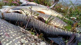 В этих озерах ПОЛНО РЫБЫ! Потрясающая рыбалка в АРКТИЧЕСКОЙ ТУНДРЕ!  Рыбалка на Кольском 2019 (ч1)